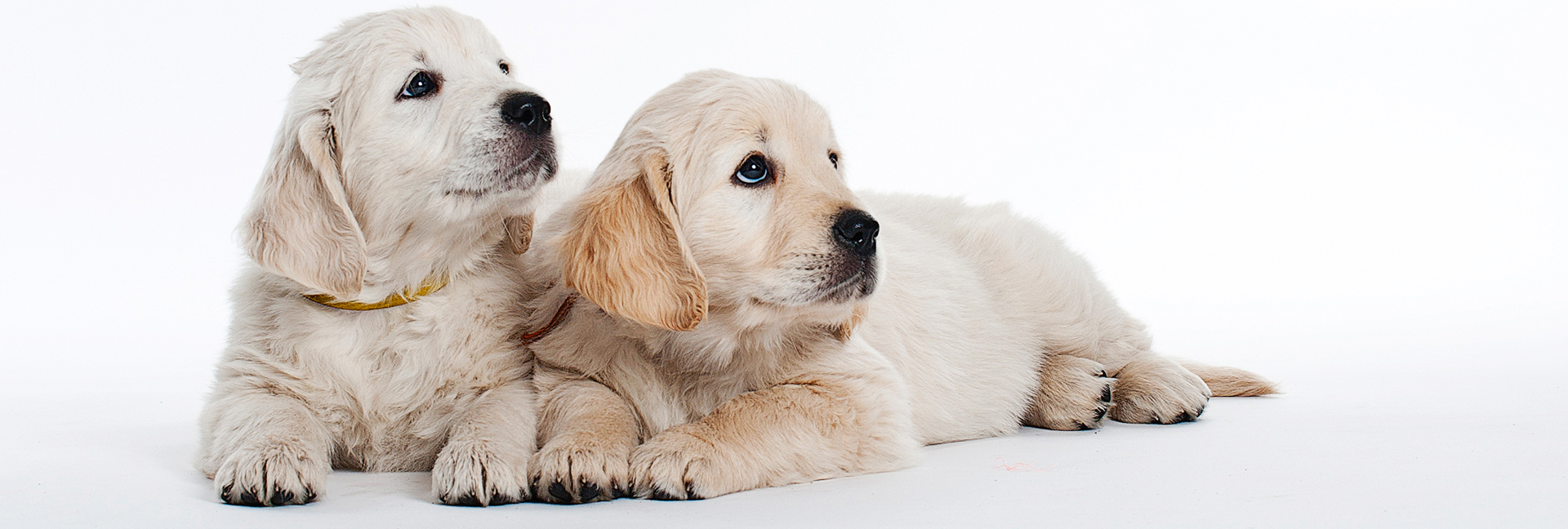2 Golden Retriever puppies