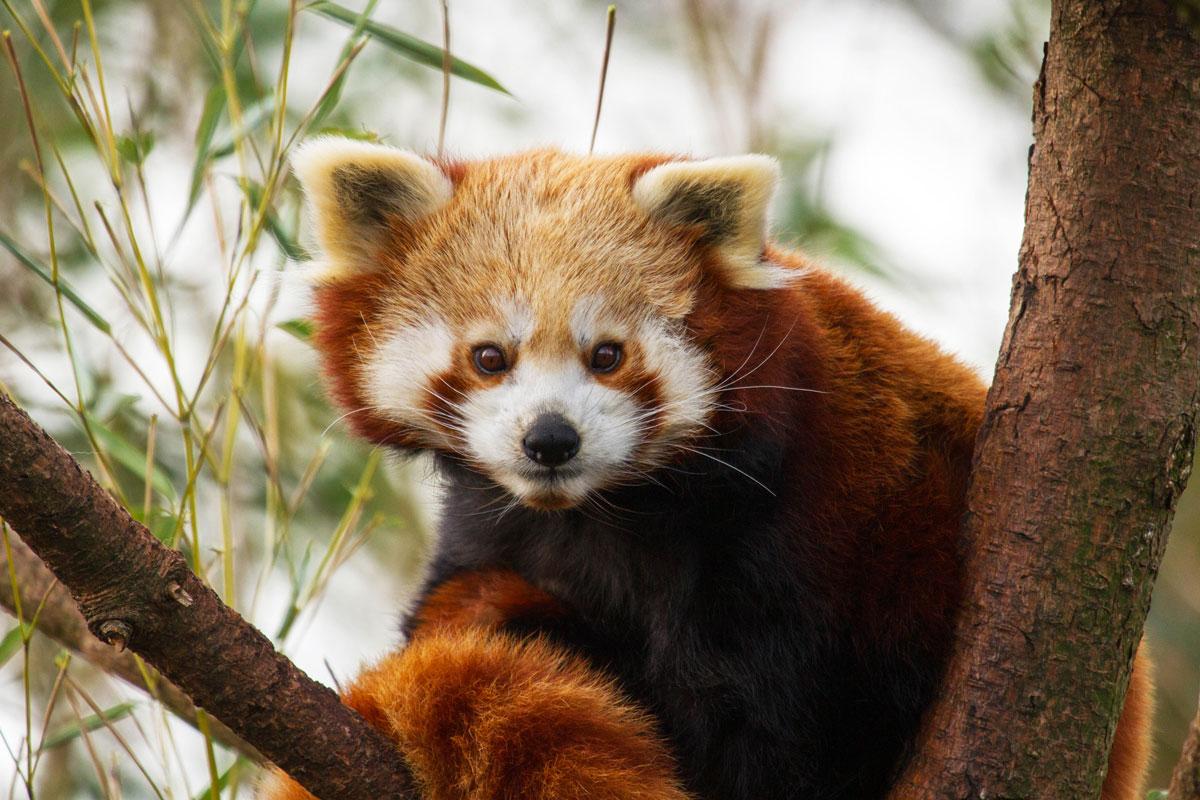 De kleine panda, ook wel gekend als de katbeer.