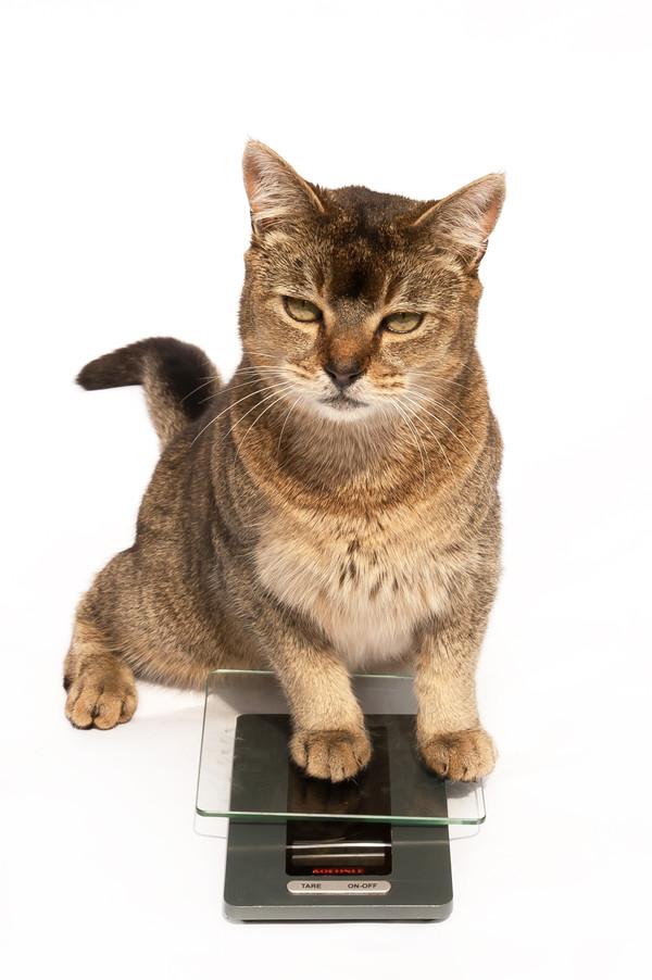 Eetlust en overgewicht bij katten